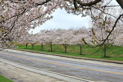 Cherry Blossom trees in full bloom along a road - gettyimageskorea