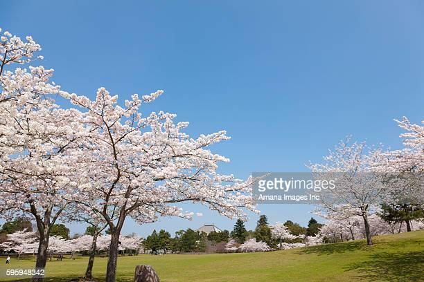 Cherry Blossom Trees in Nara Park