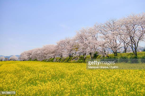 Cherry Blossom Trees In Oilseed Field Against Sky