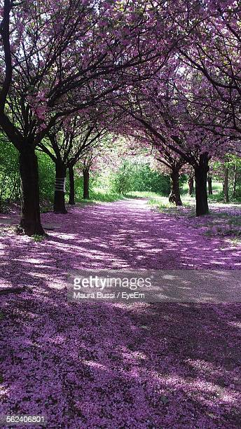 Cherry Blossom Trees In Park