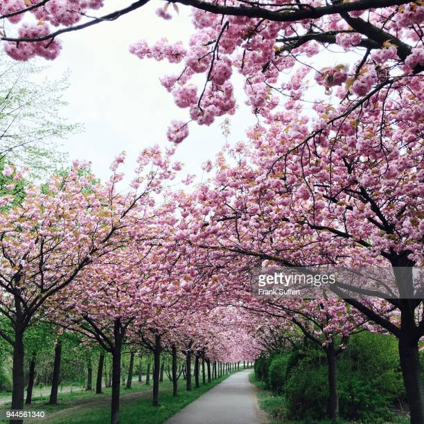 Cherry blossom trees lining a single path