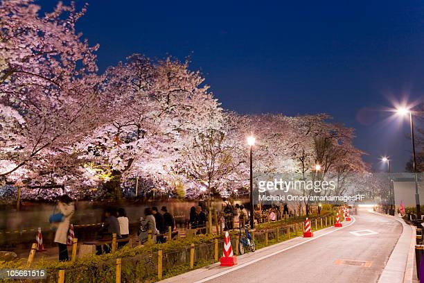 Cherry blossom trees near road at night