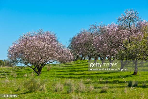 cherry blossom trees on field against clear sky - heldere lucht stockfoto's en -beelden