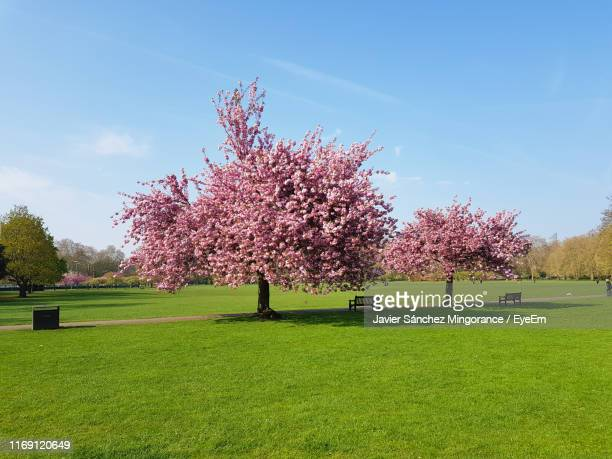 cherry blossom trees on field against sky - battersea park stock pictures, royalty-free photos & images