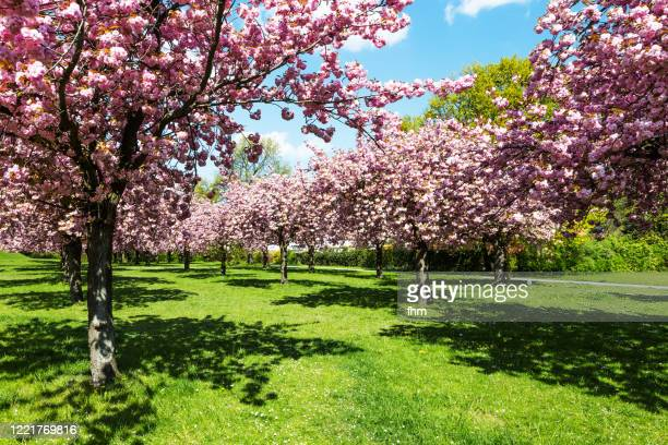 cherry blossom trees - 果樹 ストックフォトと画像