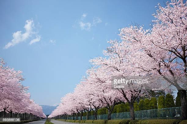 cherry blossom trees - 並木 ストックフォトと画像