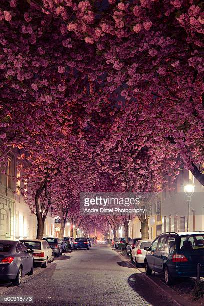 Cherry Blossom Treetunnel