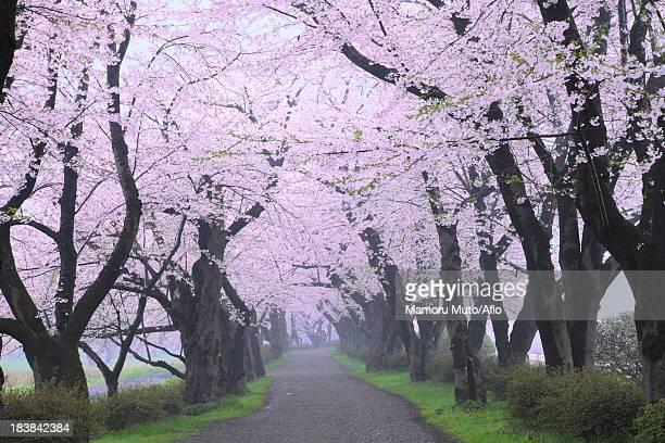 Cherry blossom tunnel, Iwate Prefecture