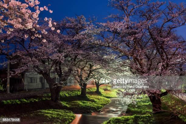 Cherry blossom tunnel on the riverbank(Fukushima)