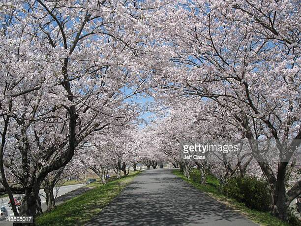cherry blossom tunnel - ise mie stock pictures, royalty-free photos & images