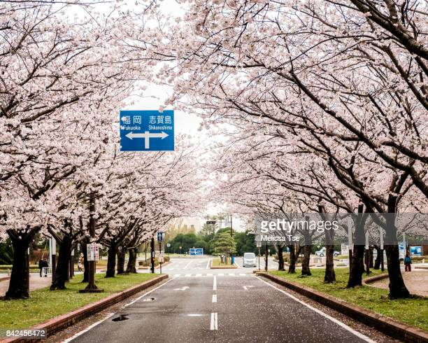 cherry blossom tunnel with road sign - fukuoka city stock pictures, royalty-free photos & images