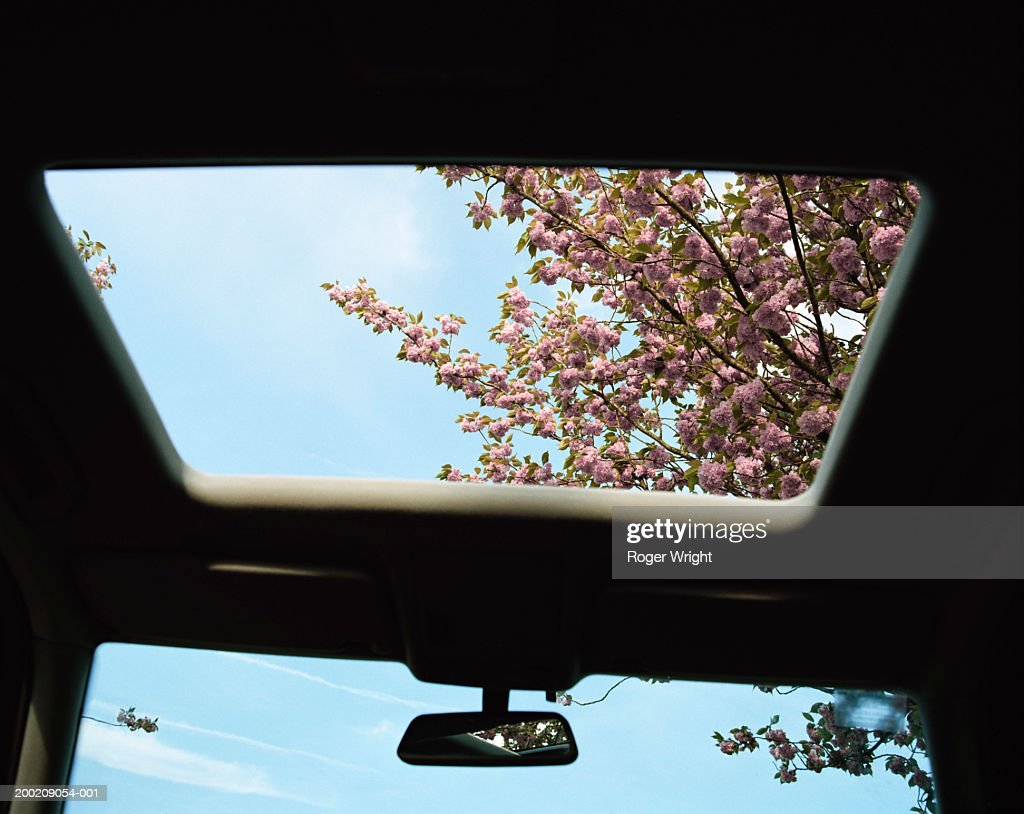 Cherry blossom, view through car sun roof, low angle view : Stock Photo