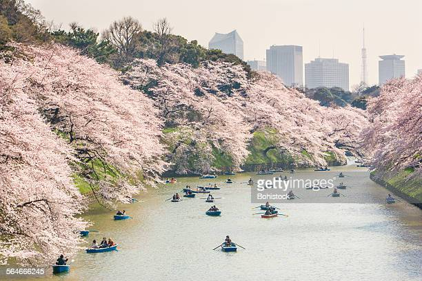 Cherry blossom viewing at Chidorigafuch