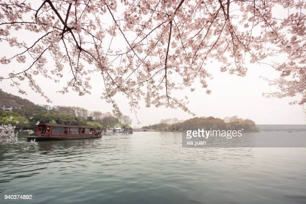 cherry blossoms above the west lake,hangzhou,china - west lake hangzhou stock pictures, royalty-free photos & images
