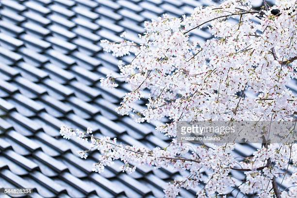 Cherry Blossoms Against Tiled Roof Background