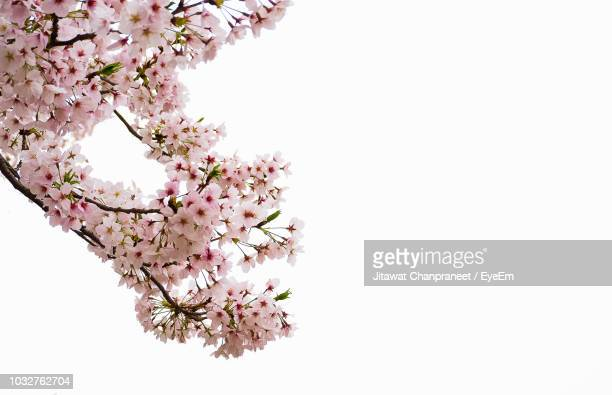 cherry blossoms against white background - bocciolo foto e immagini stock