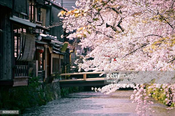 Cherry Blossoms along the Shirakawa (白川) river in Spring in Gion (祇園) Kyoto (京都) Japan
