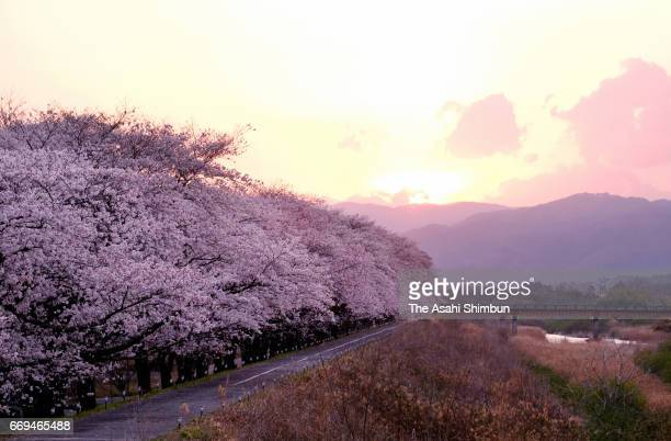 Cherry blossoms along with Ukedogawa River are in full bloom on April 16 2017 in Namie Fukushima Japan The evacuation order of Namie town was lifted...