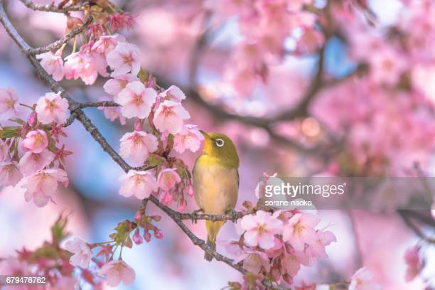 Cherry blossoms and bird 'Japanese white-eye'