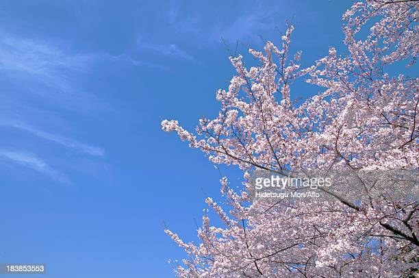 Cherry blossoms and blue sky with clouds