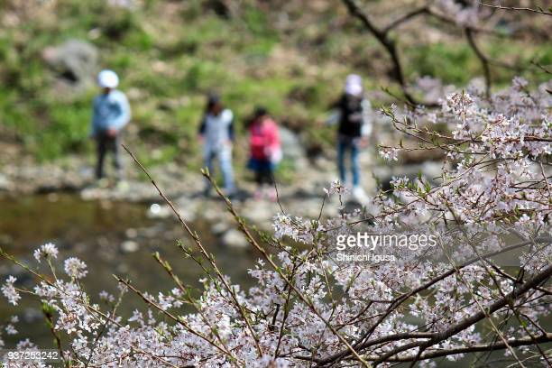 cherry blossoms and children - shinichi igusa ストックフォトと画像