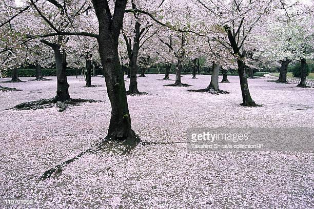 cherry blossoms and fallen petals, okayama prefecture, japan - präfektur okayama stock-fotos und bilder