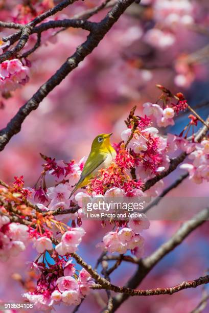 Cherry blossoms and Japanese white-eye