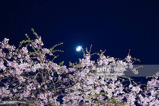 Cherry blossoms and night sky
