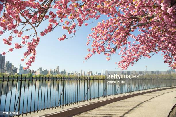 cherry blossoms and nyc skyline from central park - central park reservoir stock pictures, royalty-free photos & images