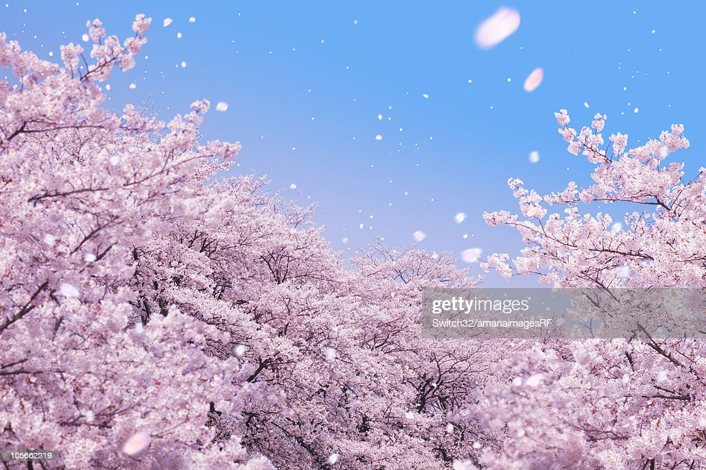 Cherry blossoms and petals blowing in wind : ストックフォト