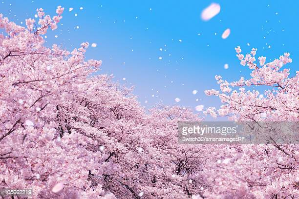 Cherry blossoms and petals blowing in wind