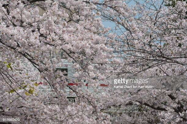 Cherry blossoms and railway train