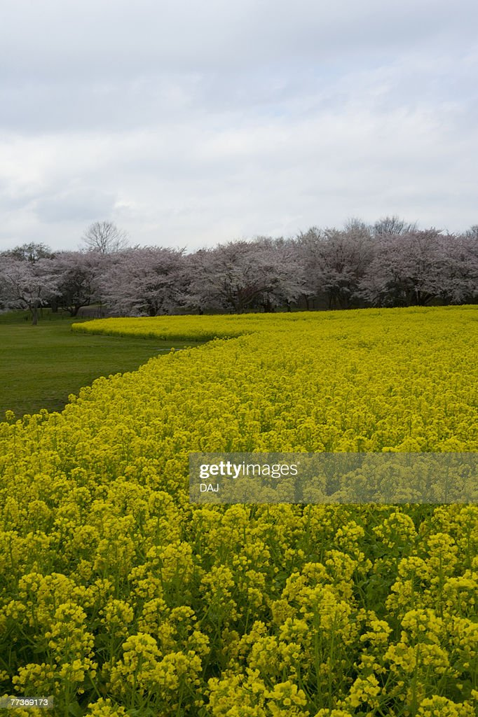 Cherry blossoms and rape field, high angle view, Japan : Photo