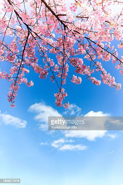 cherry blossoms and sky - cherry blossom in full bloom in tokyo stock pictures, royalty-free photos & images