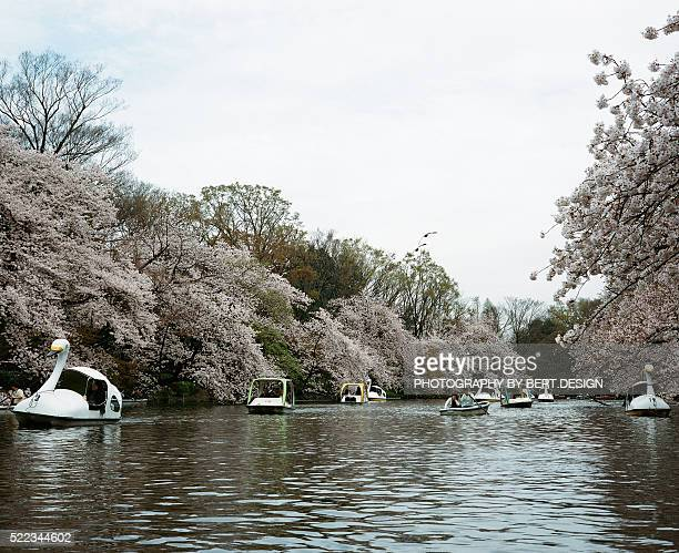 Cherry Blossoms and Swan Boats in a Dreamy Park Japan, Tokyo
