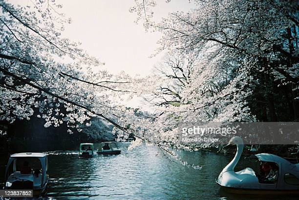 Cherry Blossoms and Swan Boats in a Dreamy Park