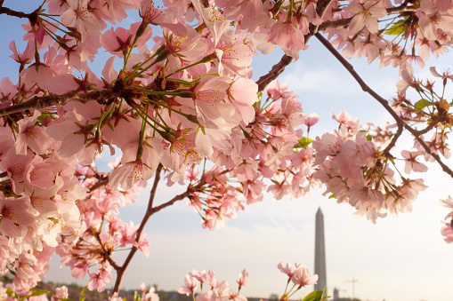Cherry blossoms and the Washington Monument seen during the Cherry Blossom Festival - gettyimageskorea