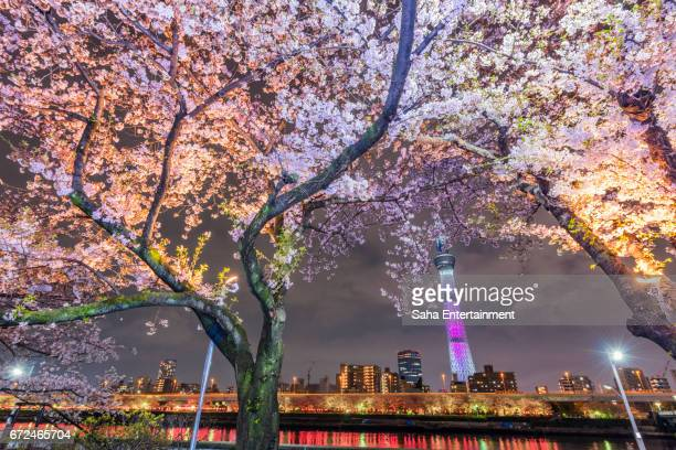 cherry blossoms and tokyo sky tree light up - saha entertainment stock pictures, royalty-free photos & images