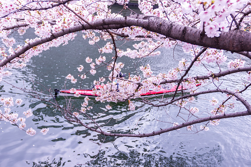 Cherry blossoms and tourists in the boat on the Sumida river at day time, Koto ward, Tokyo, Japan, Spring. - gettyimageskorea