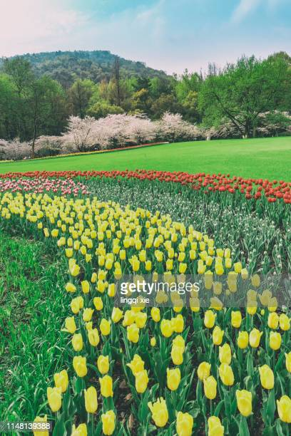 cherry blossoms and tulips blooming in the meadow - field of daffodils stock pictures, royalty-free photos & images