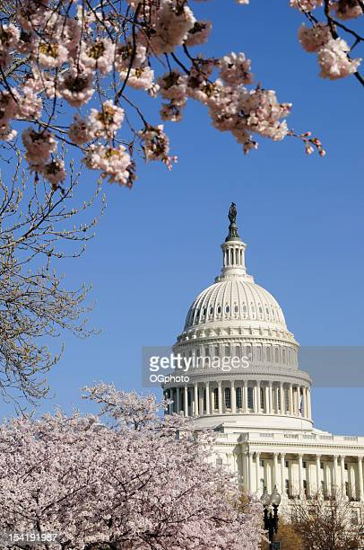 cherry blossoms and us capitol building in washington dc - ogphoto stock pictures, royalty-free photos & images