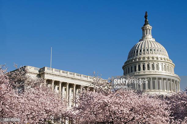 cerezos en flor y el edificio del capitolio en washington dc - ogphoto fotografías e imágenes de stock