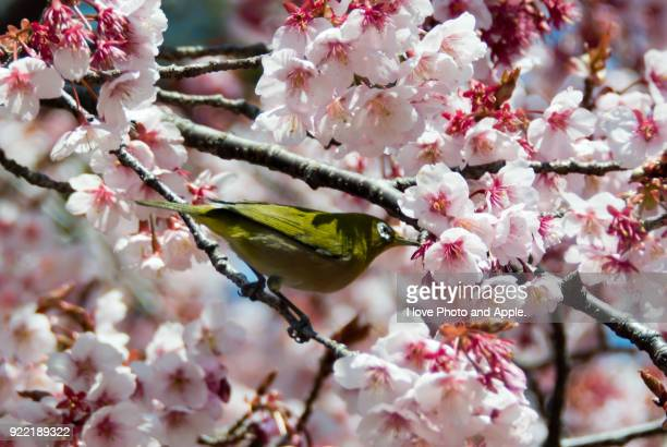 cherry blossoms and white-eye - march month stock photos and pictures