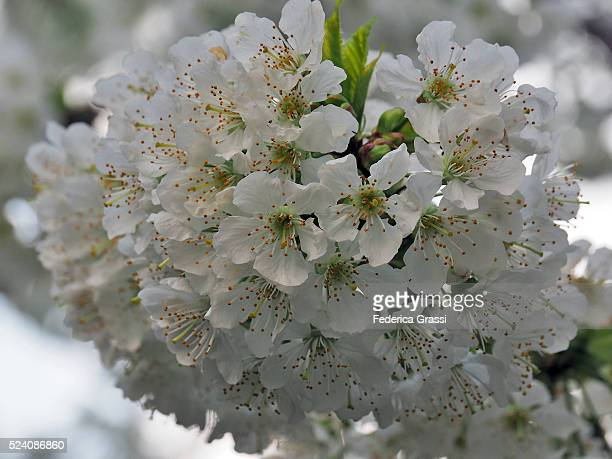 Cherry Blossoms, April Morning, Cannobio, Northern Italy