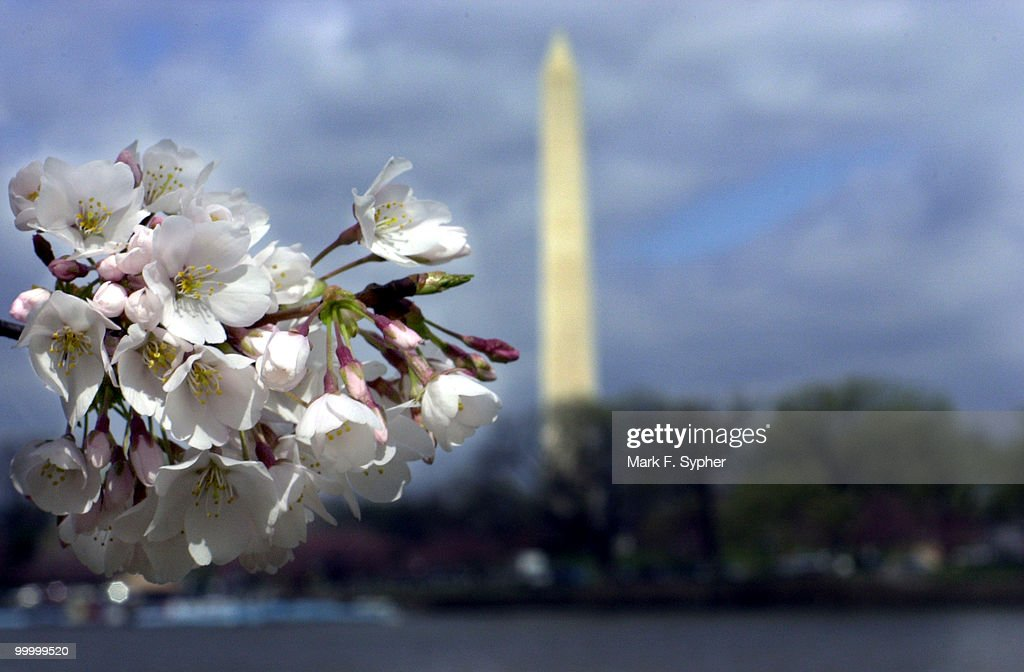Cherry blossoms are begining to appear on the cherry trees surrounding the tidal basin on the south side of the Mall on Wednesday. This weekend should provide a peak viewing time for the cherry trees, which were gifts from China.