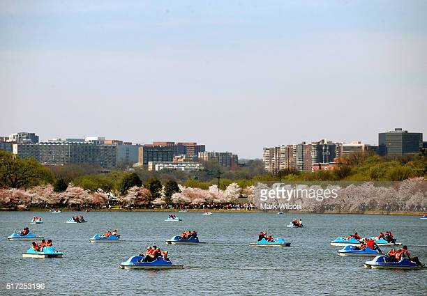 Cherry Blossoms are blooming as people operate paddle boats in the Tidal Basin March 24 2016 in Washington DC The National Park Service has predicted...