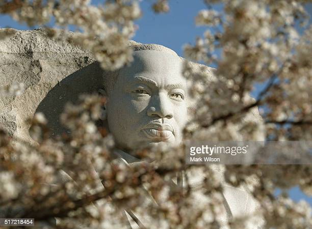 Cherry Blossoms are blooming near the Dr Martin Luther King Jr Memorial March 24 2016 in Washington DC The National Park Service has predicted that...