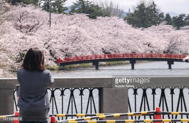 Cherry blossoms are in full bloom at Hirosaki Park in Hirosaki Aomori Prefecture northeastern Japan on April 26 2020 The park is closed amid the...