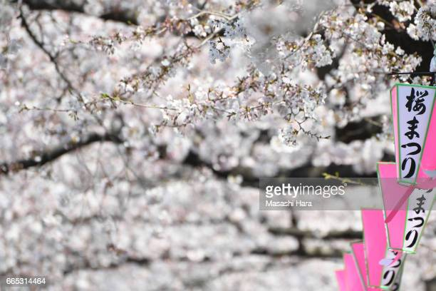 Cherry blossoms are in full bloom at Sumidagawa River on April 5 2017 in Tokyo Japan The blossom reached its peak in Tokyo while so called 'Sakura...