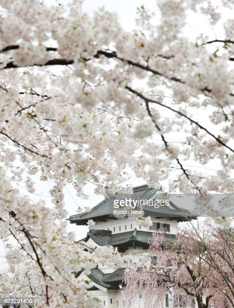 Cherry blossoms are in full bloom in the rain at Hirosaki Park with Hirosaki Castle in the background in the northeastern Japan city of Hirosaki...